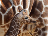 Baby giraffe near mother — Stock Photo