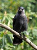 Jackdaw sitting on branch of tree — Stock Photo