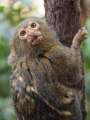 Pygmy monkey on tree — Stok fotoğraf