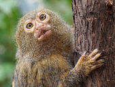 Pygmy monkey on tree — Stock Photo