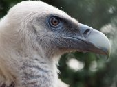 Vulture close up — Stock Photo