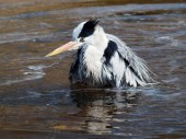 Blue Heron taking a bath — Stock Photo