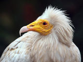 Close up of Egyptian Vulture — Stock Photo
