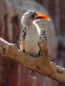 Red-billed Hornbill sitting on tree — Stock Photo