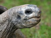 Close up of Giant turtle — Stock Photo