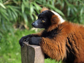 Red lemur in forest — Stock Photo