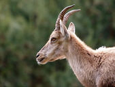 Close up of Ibex — Stock Photo