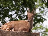 Ibex laying on stone — Stock Photo