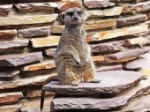 Close up of Meerkat sitting on stones — Stock Photo