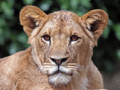 Portrait of  lioness in the reserve — Stok fotoğraf