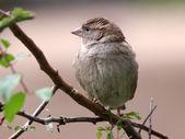 Sparrow on tree branch — Stock Photo