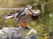 Duck near water — Stock Photo
