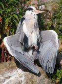 Close up of Blue Heron — Foto de Stock