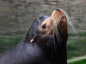 Close up of Sea lion head — Stock Photo