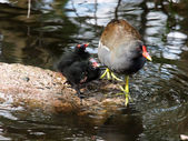 Moorhen with chicks — Stock Photo