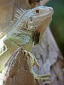 Close up of Iguana — Stock Photo