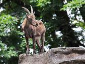 Alpine Ibex in mountains — Stock Photo