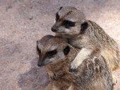 Meerkats on sand — Stock Photo
