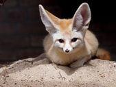 Fennec fox on sand — Stock Photo