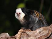Marmoset sitting on tree — Stock Photo