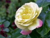 Close up of yellow rose — Stock Photo
