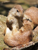 Close up of Prairie dogs — Stock Photo