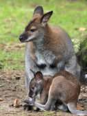 Bennett's wallaby mother and child — Stock Photo