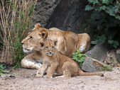 Lions laying on ground — Stock Photo