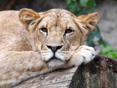 Portrait of  lioness in the reserve — Stock Photo