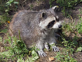 Raccoon sitting on ground — Stock Photo