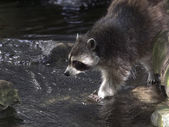 Raccoon above water — Stock Photo