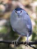Blue Heron on tree branch — Stock Photo