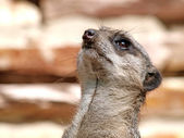 Close up of Meerkat — Stock Photo