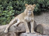 Female Lion on wooden log — Stock Photo