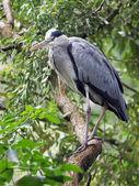 Blue Heron on branch — Stock Photo
