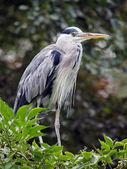 Blue Heron on leaves — Stock Photo