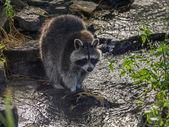 Raccoon n the water — Stock Photo