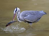 Blue Heron catch fish — Foto de Stock