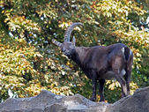 Alpine Ibex in forest — Stock Photo