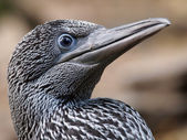 Close up of gannet — Stock Photo