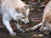 Hudson Bay wolfs — Stock Photo