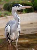 Blue Heron in water — Stock Photo
