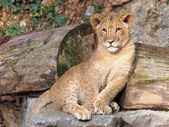 Lion sitting on stone — Stock Photo
