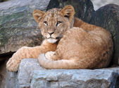 Lion laying on stone — Stock Photo