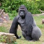 Portrait of a gorilla — Stock Photo #62387277
