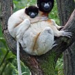 Portrait of crowned sifaka in the reserve — Stock Photo #62387481