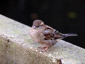 Close up of Sparrow on asphalt — Stock Photo