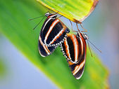 Mating butterflies on leaves — Stock Photo