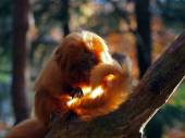 Golden lion tamarin on tree — Stock Photo