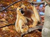 Female Gibbon screaming on tree — Stockfoto